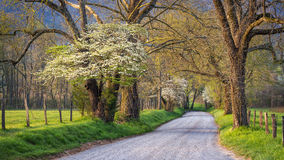 Spring foliage, country lane, Great Smoky /mountains. Blooming dogwoods along Sparks Lane in the Cades Cove area of the Great Smoky Mountains National Park Royalty Free Stock Photo