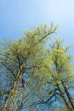 Spring Foliage. Fresh yellow  green  foliage in spring Royalty Free Stock Photos