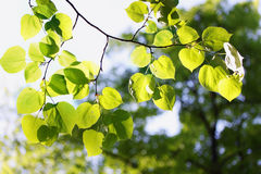 Spring foliage on linden Stock Image