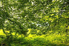 Spring foliage lush green Royalty Free Stock Photography