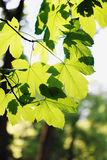 Spring foliage on maple Royalty Free Stock Photo