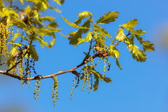 Spring foliage of an oak Royalty Free Stock Images