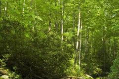 Spring Foliage, Smokies Stock Photography