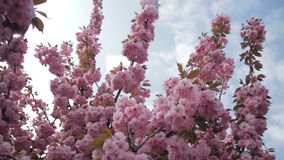 Spring footage with blossoming Japanese oriental cherry, sakura blossom, pink buds soft focus stock footage