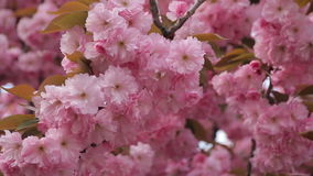 Spring footage with blossoming Japanese oriental cherry, sakura blossom, pink buds soft focus stock video