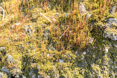 Spring Fores Moss in the Sunshine. Green Nature Lichen Background Royalty Free Stock Image