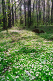 Spring forest. Spring scene with wildflowers and trees Royalty Free Stock Photography