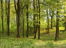 Spring forest royalty free stock images