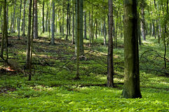 Spring forest. Hike in a deep late spring forest. European vegetation Royalty Free Stock Image