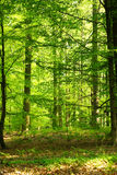 Spring Forest. Bright green morning spring Forest Royalty Free Stock Photography
