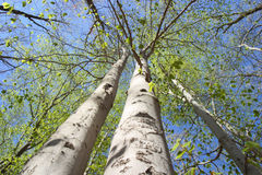 Spring forest. Tall strong trees with white bark, spring leave and a blue sky create a strong abstract image Stock Photo