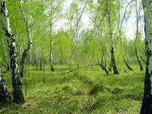Spring forest. Birchwood and green grass Royalty Free Stock Photography