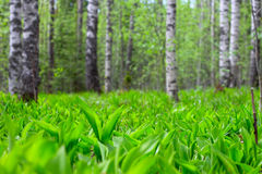 Spring forest. Beautidul colorful fresh spring forest landscape horizontal Stock Image