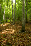 Spring forest. Forest in late spring - Slovakia Royalty Free Stock Images