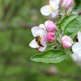 Spring forest background. Closeup shot of apple blossoms with a bee in spring forest, floral background stock image