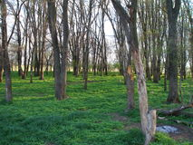 Spring forest with bare gray trunks and green grass Stock Photo