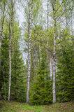 Spring forest with birches and firs Royalty Free Stock Photos