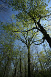 Spring Forest Canopy. Early spring forest canopy against a brilliant blue sky stock images