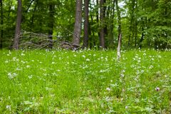 Spring forest carpet. Forest ground with green plants and white flowers Royalty Free Stock Photo