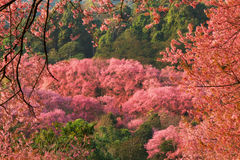 Spring Forest cherry blossom flowers stock image