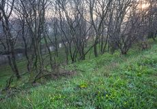 Spring forest covered with daffodils Royalty Free Stock Photography