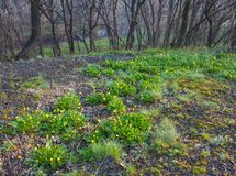 Spring forest covered with daffodils Stock Photography