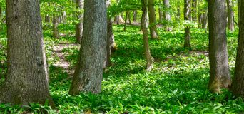 Spring forest covered with wild garlic green carpet Stock Photography