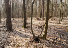 Spring forest. Deciduous forest on a Sunny spring day Stock Image