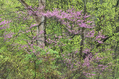 Spring Forest with Dogwood in Bloom Stock Image