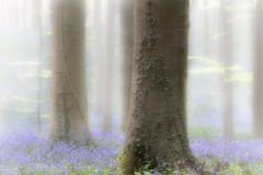 Spring forest with early violet blue bells in the foggy mist royalty free stock photography
