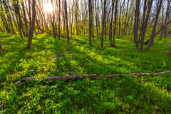 Spring forest at the evening Royalty Free Stock Images
