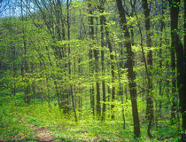 Spring forest. Stock Photography