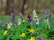 Spring forest flowers Royalty Free Stock Photo