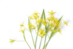 Spring forest flowers isolated on white background. Small yellow wild flowers on white. Small yellow wild flowers on white Stock Images