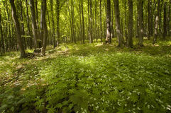 Spring forest with flowers and plants Royalty Free Stock Image