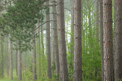 Spring Forest in Fog Royalty Free Stock Image