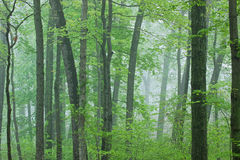 Spring Forest in Fog Stock Photo