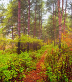 Spring forest in the fog - spring forest landscape Royalty Free Stock Photo
