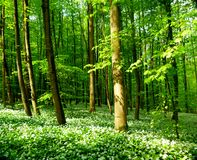 Spring forest full of blossoming bear`s garlic 2 stock image