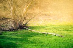 Forest glade with green grass. A spring forest glade with fresh green grass is highlighted by morning sunlight Royalty Free Stock Photography