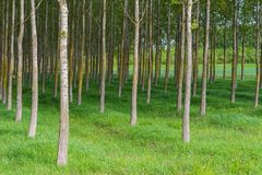 Spring forest with high trees Stock Photo