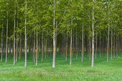 Spring forest with high trees Royalty Free Stock Photography
