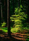 Spring in the forest. Illustrations,woods landscape stock photography