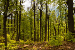 Spring forest. In the forest, just before rain Stock Images