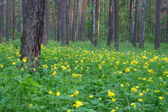The spring forest landscape royalty free stock photos