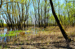 Spring forest landscape - riparian forest trees flooded with overflowing river water in sunny spring weather. Spring picturesque forest landscape stock photos