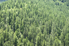 Spring forest with larches, spruces and pines stock photography