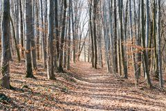 Spring forest with leafless trees. And yellow leaves royalty free stock images