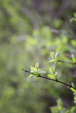 Spring  forest with lush foliage Royalty Free Stock Photography