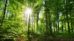 Spring forest in lush green foilage flooded by warm sun rays, gimbal shot